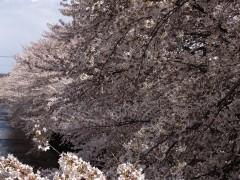 20120407sakura